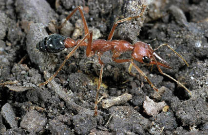 The biggest workers of the Giant Bull Ant, Myrmecia brevinoda, are some of the longest ants in world.