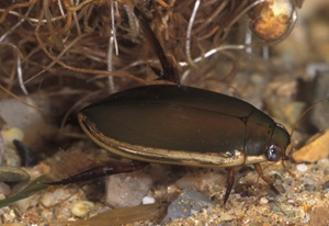 Three-punctured Diving Beetle, Cybister tripunctatus