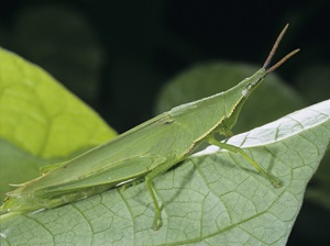 Vegetable Grasshopper (Atractomorpha similis)