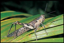 Hedge Grasshopper