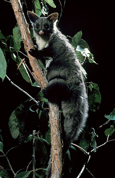 Yellow-bellied Glider (Petaurus australis)