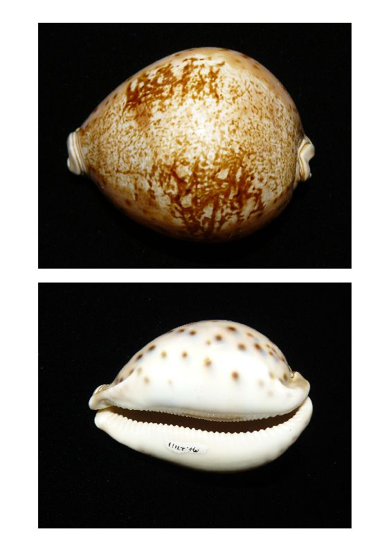Lord Valentia's Cowrie  (Leporicypraea valentia), dorsal and ventral views of the specimen in the Queensland Museum Collection