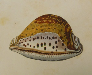 George Perry's (1811) illustration of Lord Valentia's Cowrie which accompanied his description of this species (Perry's rare volume is held in the Rare Book Collection of the Queensland Museum)