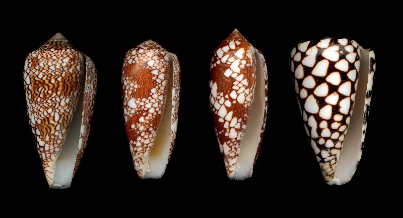 Mollusc-eating cone species (largest shell : [left to right] Conus textile, Conus omaria, Conus aulicus, Conus marmoreus. (Longest shell shown 90mm)