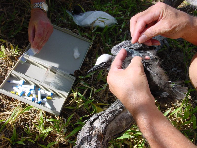 Sampling blood from a Common Noddy at Heron Island.