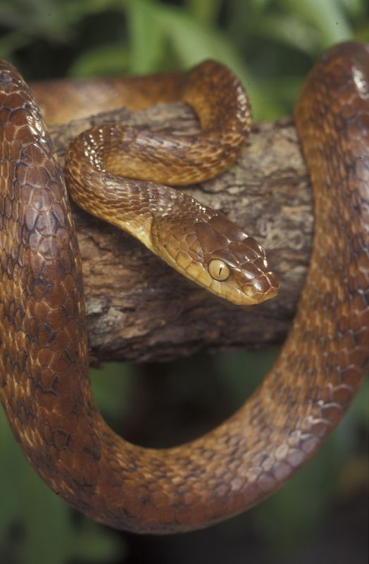 Brown Tree Snake (Boiga irregularis)