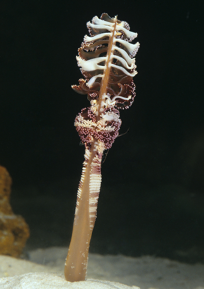 Short-quill Sea Pen (Virgularia gustaviana)