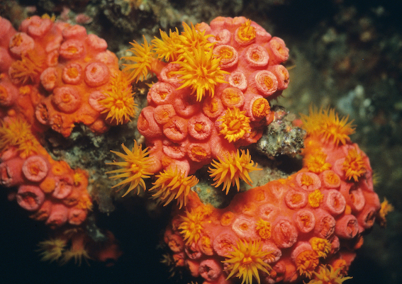 Orange Tube Coral (Tubastrea faulkneri)