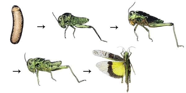 Illustration of stages of gradual metamorphosis in a grasshopper