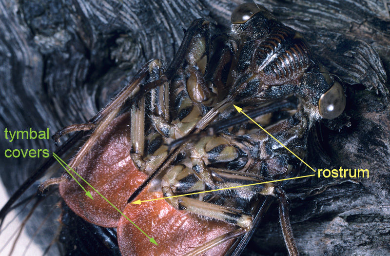 Cicada mouthparts