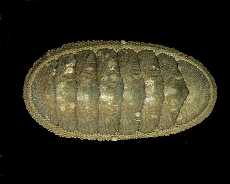 The Australian Chiton (Ischnochiton australis, length 40-50mm) is one of the commoner chiton species from the eastern southern coast of Australia.