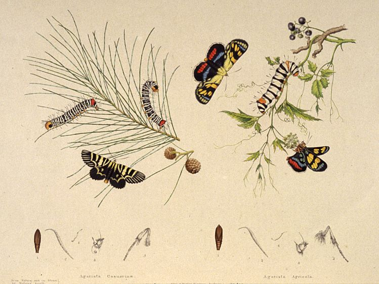 A life history plate of two moths from the family Noctuidae.
