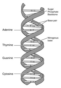 The key structural components of DNA