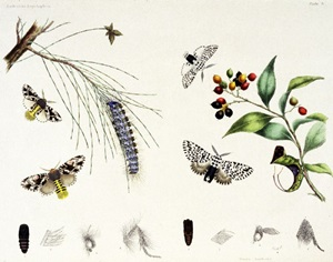 A life history plate of two moths from the family Notodontidae. London, 1864, QM library.