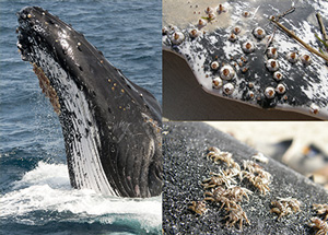 Whale breach with barnacles on the skin. Top right:  Barnacles on the front fin. Bottom right:  Lice on the whale body. Credit: Shona Marks