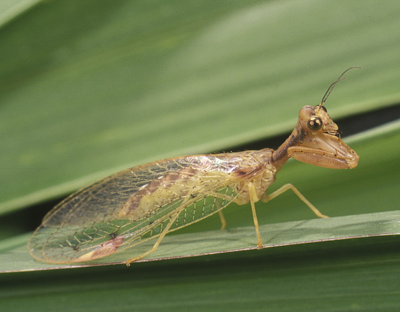 Mantid lacewing (Ditaxis biseriata)
