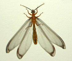 Nymphes myrmeleonides