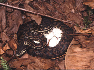 Carpet Python curled around her eggs. Photo by Steve Wilson